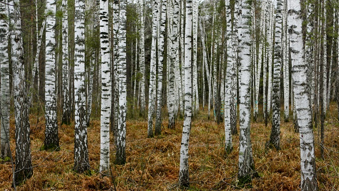 Siberian Forests Shrinking Due to Strong China Timber Demand