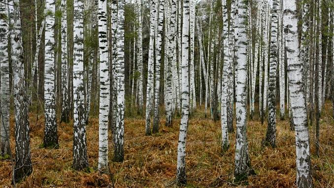 siberianforest1.jpg